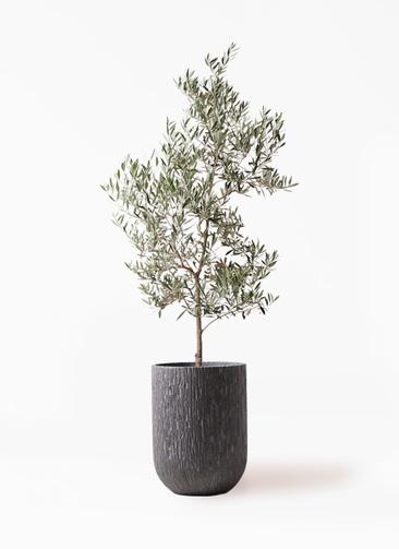観葉植物 オリーブの木 10号 ピクアル カルディナトールダークグレイ 付き