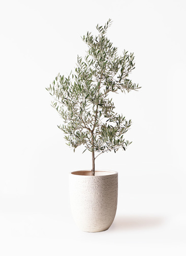観葉植物 オリーブの木 10号 ピクアル ビアスアルトエッグ 白 付き