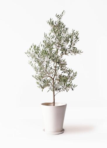 観葉植物 オリーブの木 10号 ピクアル サブリナ 白 付き