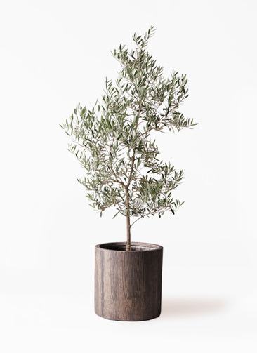 観葉植物 オリーブの木 10号 ピクアル アルファシリンダープランター 付き
