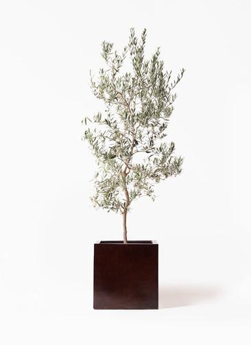観葉植物 オリーブの木 10号 バロウニ MOKU キューブ 付き
