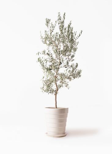観葉植物   オリーブの木 10号 バロウニ サバトリア 白 付き