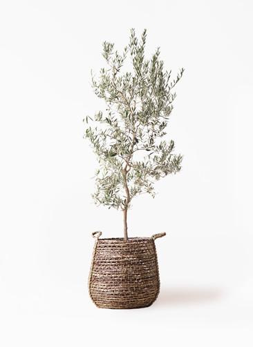 観葉植物 オリーブの木 10号 バロウニ リゲル 茶 付き
