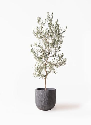 観葉植物 オリーブの木 10号 バロウニ カルディナダークグレイ 付き