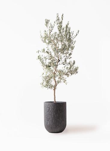 観葉植物 オリーブの木 10号 バロウニ カルディナトールダークグレイ 付き