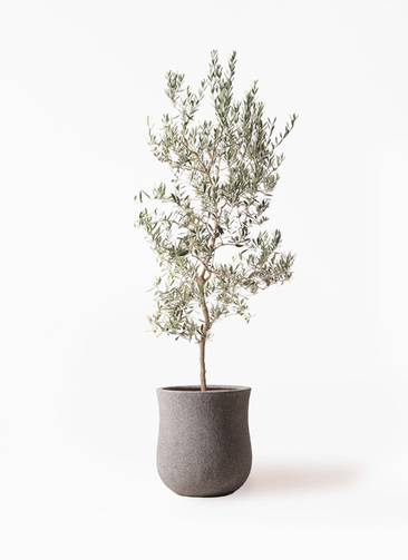 観葉植物 オリーブの木 10号 バロウニ アローナラウンド グレイ 付き