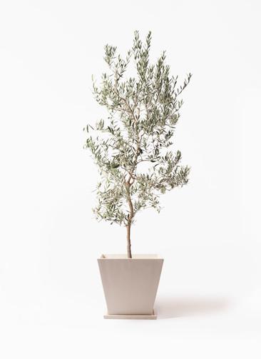 観葉植物 オリーブの木 10号 バロウニ パウダーストーン 白 付き