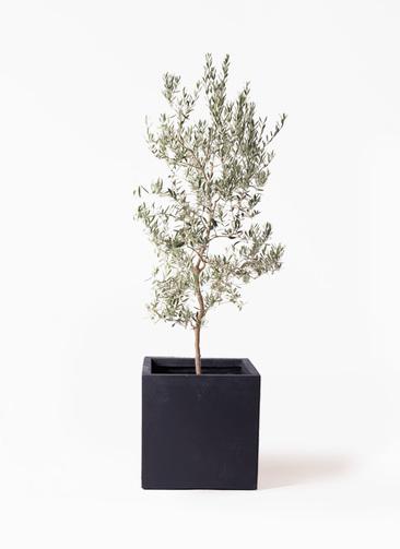 観葉植物 オリーブの木 10号 バロウニ ベータ キューブプランター 黒 付き
