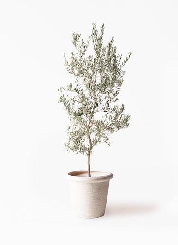 観葉植物 オリーブの木 10号 バロウニ ビアスリムス 白 付き