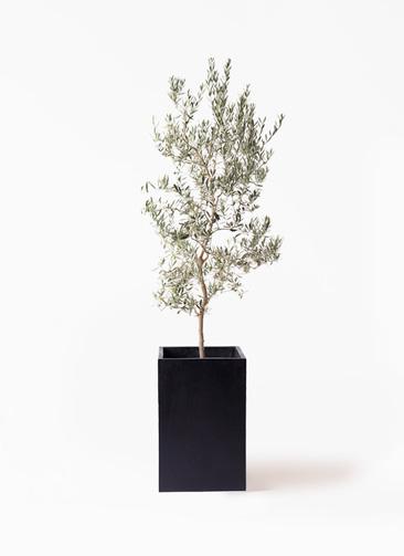 観葉植物 オリーブの木 10号 バロウニ セドナロング 墨 付き