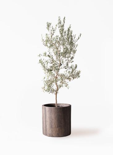 観葉植物 オリーブの木 10号 バロウニ アルファシリンダープランター 付き