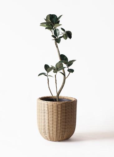 観葉植物 フィカス バーガンディ 8号 曲り ウィッカーポットエッグ ベージュ 付き