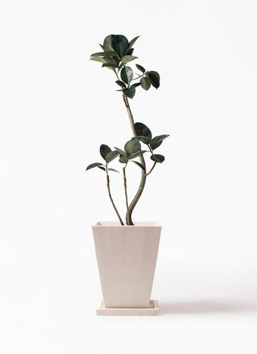 観葉植物 フィカス バーガンディ 8号 パウダーストーン 白 付き