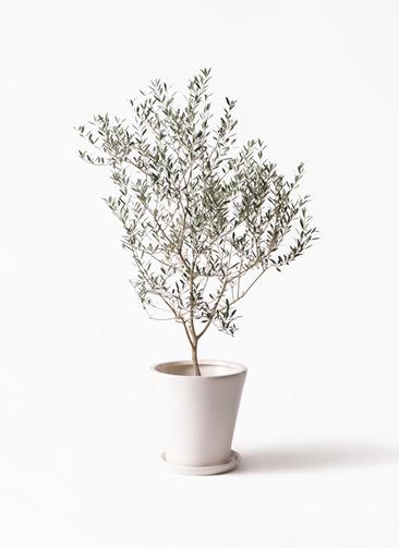 観葉植物 オリーブの木 8号 カヨンヌ サブリナ 白 付き