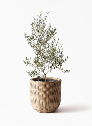 観葉植物 オリーブの木 8号 アルベキーナ ウィッカーポットエッグ ベージュ 付き