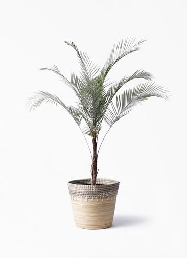 観葉植物 ヒメココス 8号 アルマ コニック 白 付き