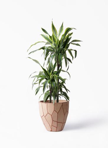 観葉植物 ドラセナ ワーネッキー レモンライム 8号 ウィスク 付き