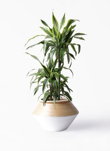 観葉植物 ドラセナ ワーネッキー レモンライム 8号 アルマジャー 白 付き