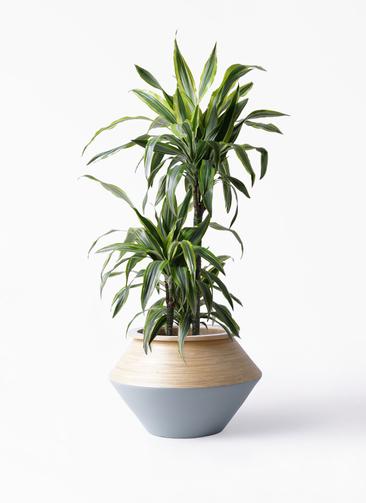 観葉植物 ドラセナ ワーネッキー レモンライム 8号 アルマジャー グレー 付き
