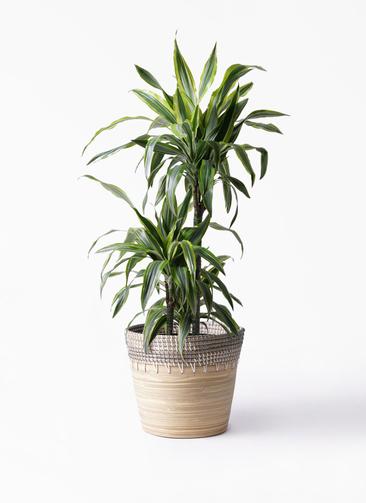 観葉植物 ドラセナ ワーネッキー レモンライム 8号 アルマ コニック 白 付き