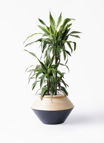 観葉植物 ドラセナ ワーネッキー レモンライム 8号 アルマジャー 黒 付き