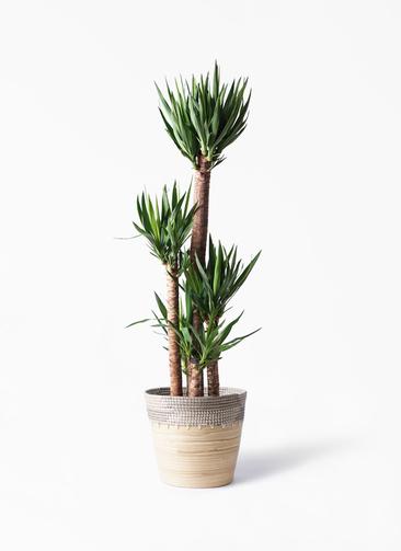 観葉植物 ユッカ 10号 ノーマル アルマ コニック 白 付き