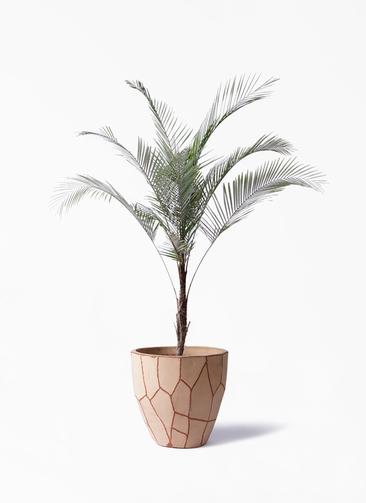 観葉植物 ヒメココス 8号 ウィスク 付き
