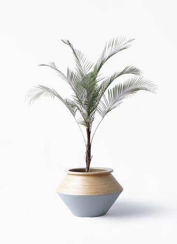 観葉植物 ヒメココス 8号 アルマジャー グレー 付き