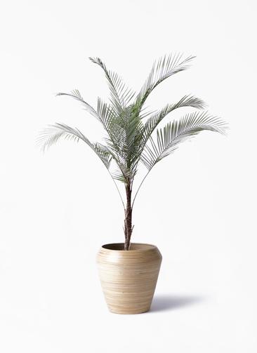 観葉植物 ヒメココス 8号 アルマ ミドル 付き
