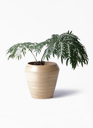 観葉植物 リュウビンタイ 8号 アルマ ミドル 付き