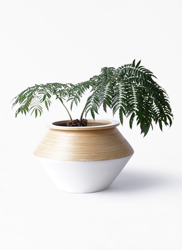 観葉植物 リュウビンタイ 8号 アルマジャー 白 付き