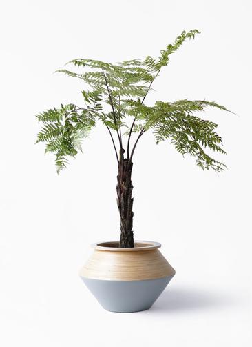 観葉植物 ヘゴ 8号 アルマジャー グレー 付き
