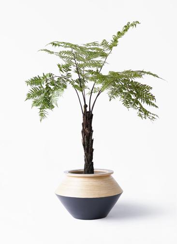 観葉植物 ヘゴ 8号 アルマジャー 黒 付き