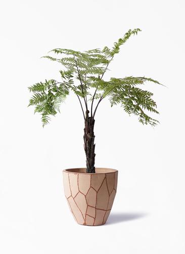 観葉植物 ヘゴ 8号 ウィスク 付き