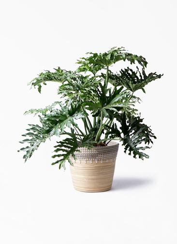 観葉植物 セローム ヒトデカズラ 8号 ボサ造り アルマ コニック 白 付き