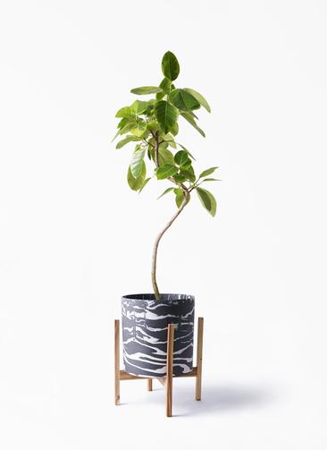 観葉植物 フィカス アルテシーマ 8号 曲り ホルスト シリンダー マーブル ウッドポットスタンド付き