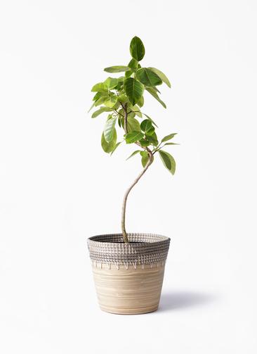 観葉植物 フィカス アルテシーマ 8号 曲り アルマ コニック 白 付き