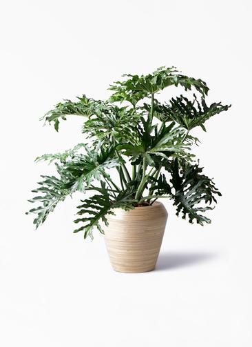 観葉植物 セローム ヒトデカズラ 8号 ボサ造り アルマ ミドル 付き