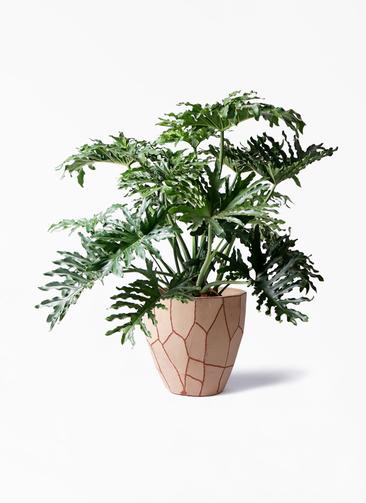 観葉植物 セローム ヒトデカズラ 8号 ボサ造り ウィスク 付き
