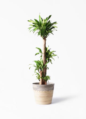 観葉植物 ドラセナ 幸福の木 10号 ノーマル アルマ コニック 白 付き