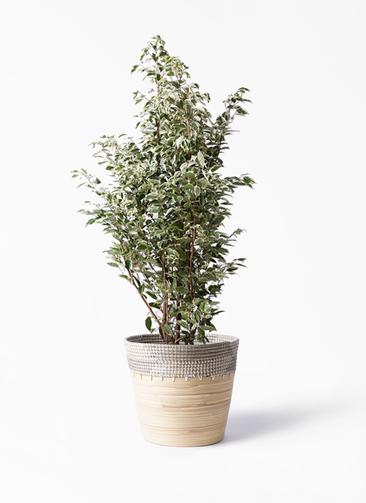 観葉植物 フィカス ベンジャミン 10号 スターライト アルマ コニック 白 付き