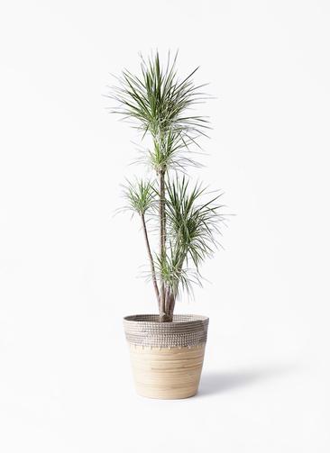 観葉植物 コンシンネ ホワイポリー 10号 ストレート アルマ コニック 白 付き