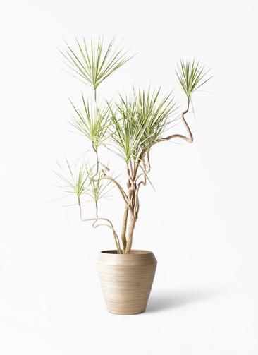 観葉植物 コンシンネ ホワイポリー 10号 曲り アルマ ミドル 付き