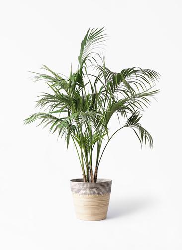 観葉植物 ケンチャヤシ 10号 アルマ コニック 白 付き