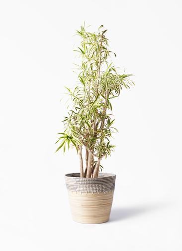 観葉植物 ドラセナ ソング オブ インディア 10号 アルマ コニック 白 付き