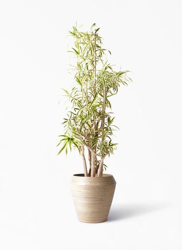 観葉植物 ドラセナ ソング オブ インディア 10号 アルマ ミドル 付き