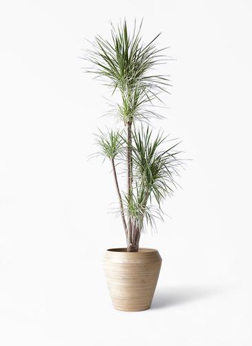 観葉植物 コンシンネ ホワイポリー 10号 ストレート アルマ ミドル 付き