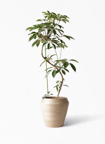 観葉植物 ツピダンサス 10号 曲り アルマ ミドル 付き