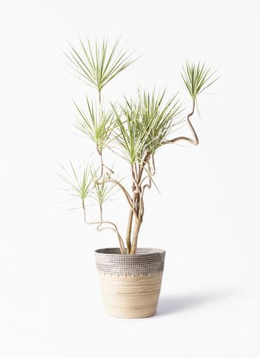 観葉植物 コンシンネ ホワイポリー 10号 曲り アルマ コニック 白 付き