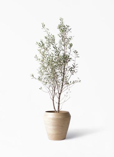 観葉植物 オリーブの木 10号 チプレッシーノ アルマ ミドル 付き